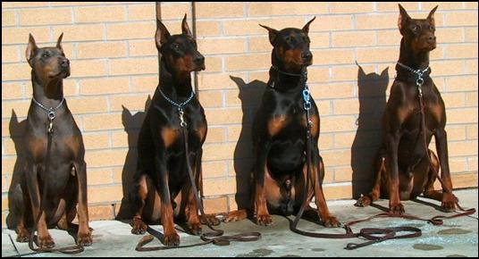 Doberman Dog Movie